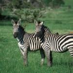 Uganda - egzotinė kelionė