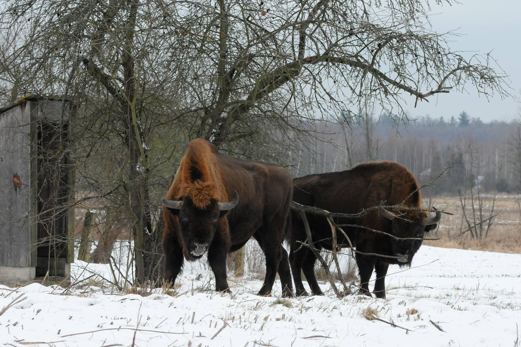 Kalėdinė Baltarusija. Beloveža giria